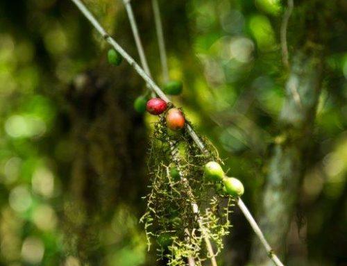 Ohne Plantage – pur und unverfälscht