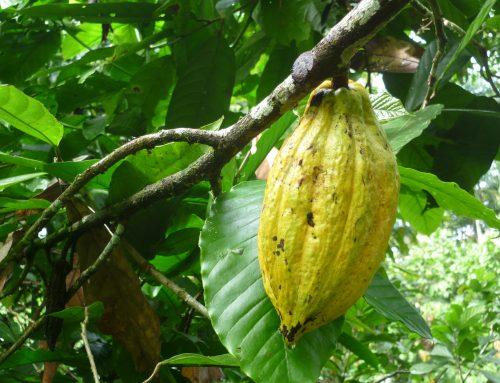 Fruchtig edler Kakao aus dem Regenwald