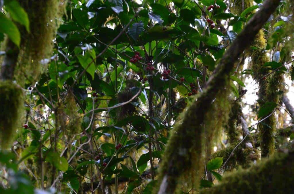 wilde Kaffeestrauch im Regenwald