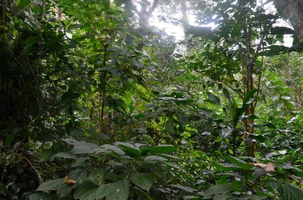 Wilde Kaffeesträucher im Kaffa Regenwald