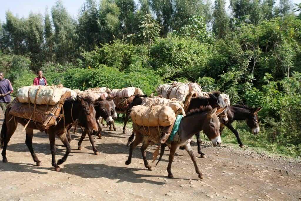 Transport von Kaffee auf Eseln und Maultieren